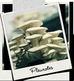 Pleurotes